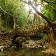 پل ریشههای زنده – پلی در هند - پلهای عجیب دنیا